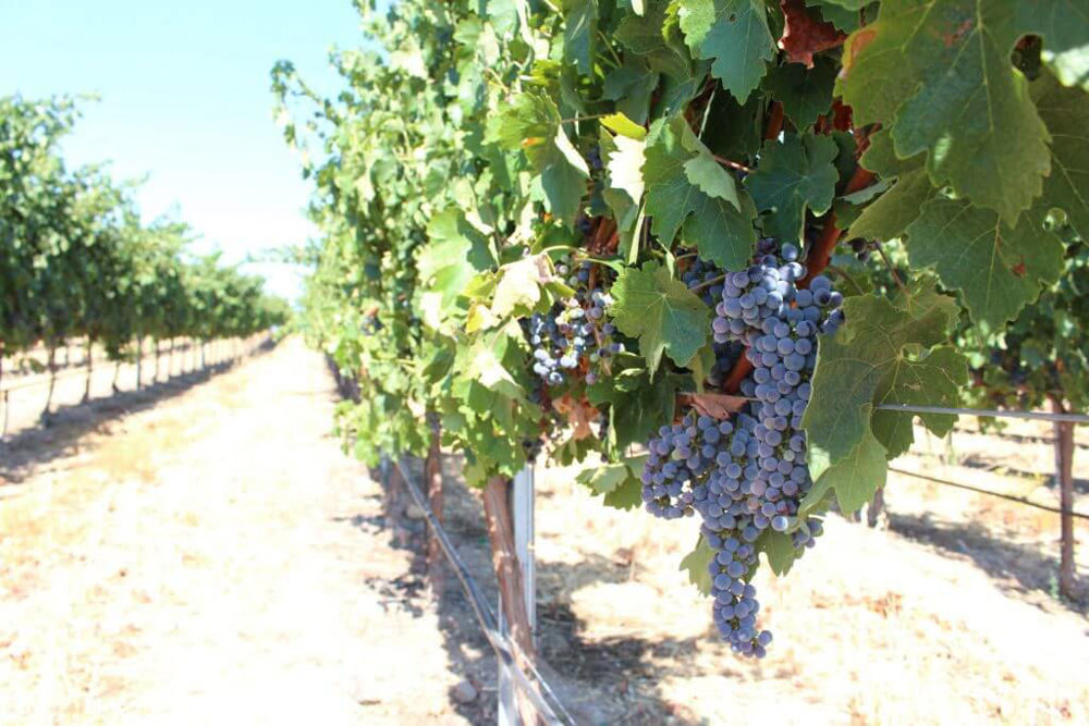 wineyard-paso-robles